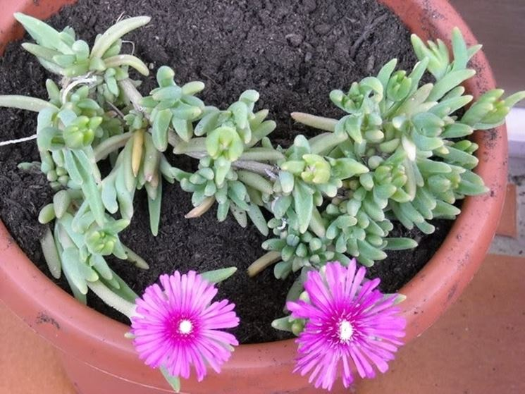Pianta grassa con fiori fucsia