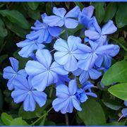 Meraviglioso Gelsomino Azzurro