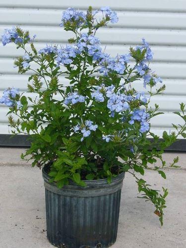 Gelsomino Azzurro in vaso