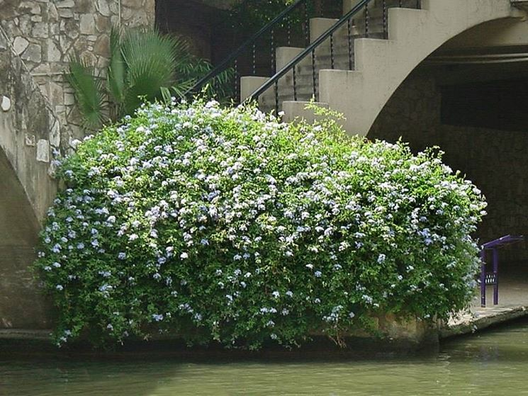 Gelsomino Azzurro cespuglio fiorito