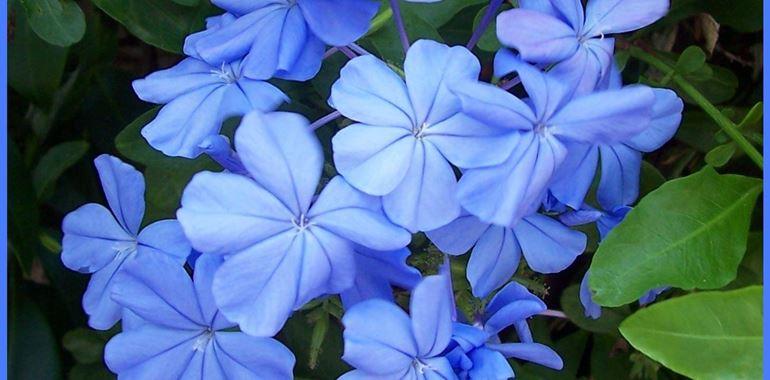 <h6>Gelsomino azzurro</h6>Con il loro elegante e delicato colore azzurro, questi fiori sapranno rendere ancora pi� prezioso il tuo giardino