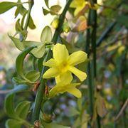 Ramo di Jasminum Nudiflorum nel tardo inverno