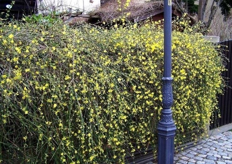 Il Gelsomino d'inverno (Jasminum Nudiflorum) risveglia il giardino invernale.