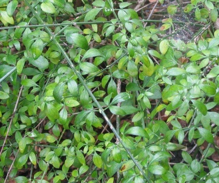 Foglie in estate del Jasminum Nudiflorum