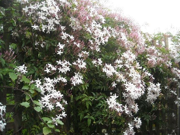 Gelsomino invernale piante da giardino caratteristiche for Giardino invernale