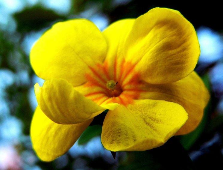 Un fiore di gelsomino invernale