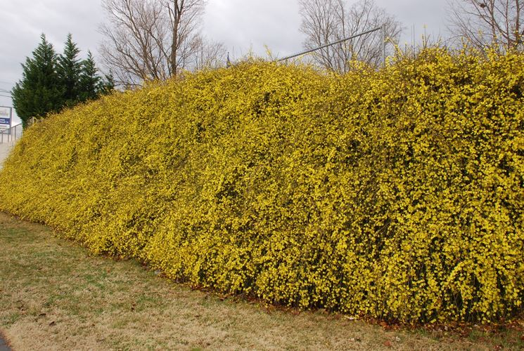 Una siepe fiorita di gelsomino invernale