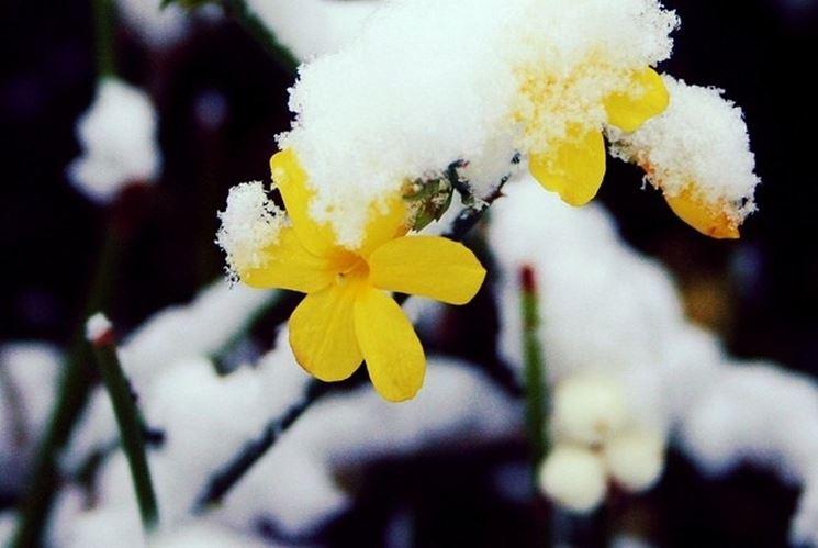 Il gelsomino invernale resiste bene al freddo