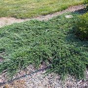 Una pianta di ginepro strisciante