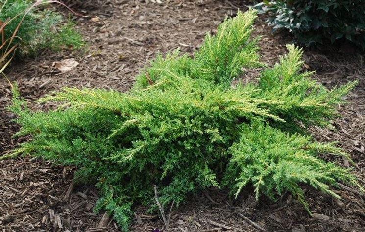 Ginepro piante da giardino la pianta di ginepro for Cespugli giardino