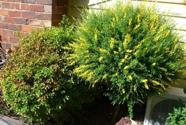 Ginestra piante da giardino coltivare la ginestra - Piante da giardino profumate ...