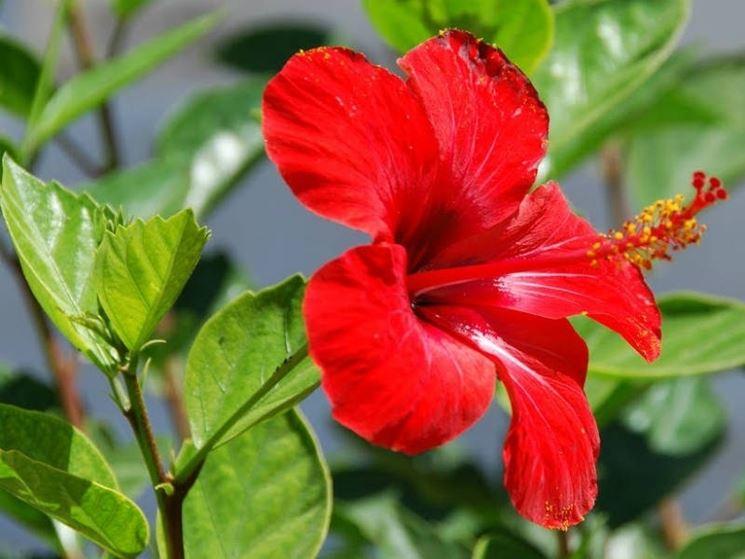 Il suggestivo fiore dell'hibiscus rosa sinensis