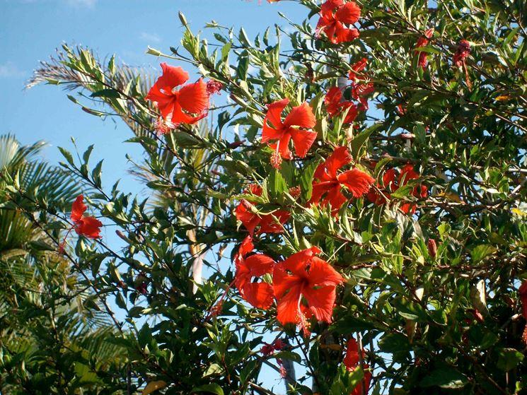 Rami fioriti di una pianta di hibiscus rosa sinensis