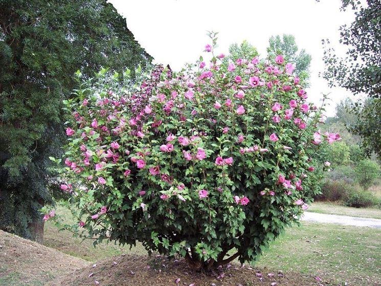 hibiscus syriacus piante da giardino hibiscus syriacus giardino. Black Bedroom Furniture Sets. Home Design Ideas