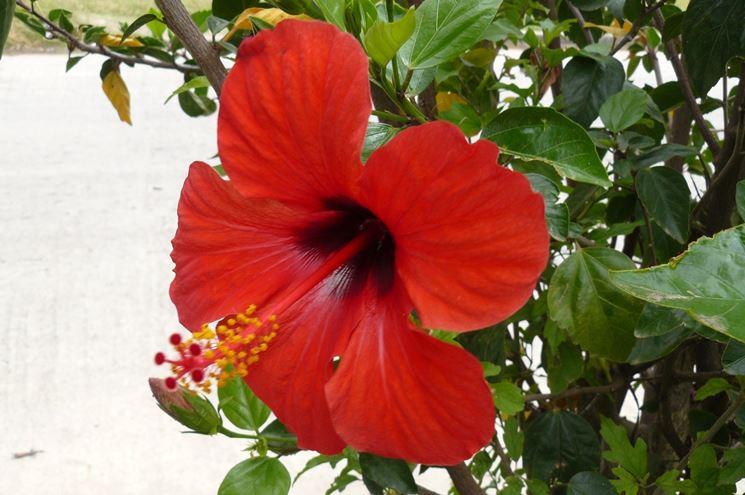 Ibisco rosso piante da giardino ibisco rosso giardino for Ibisco rosso