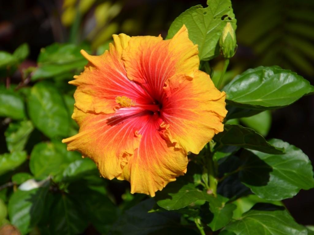Ibiscus piante da giardino come prendersi cura dell - Grossi fiori da giardino ...