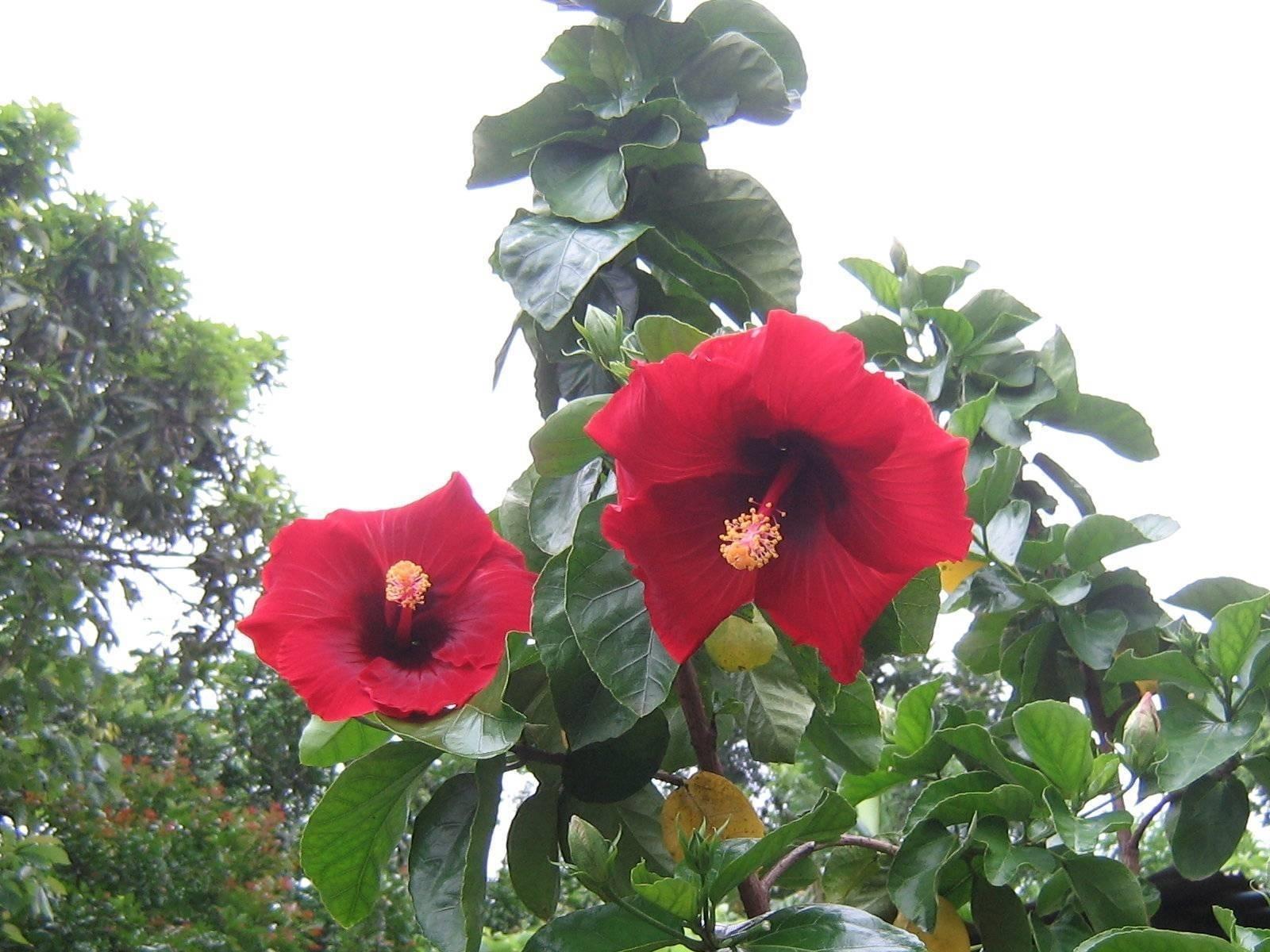 Ibiscus piante da giardino come prendersi cura dell for Piante da giardino tropicali