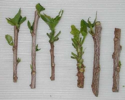 Ibiscus piante da giardino come prendersi cura dell - Alberello da giardino ...
