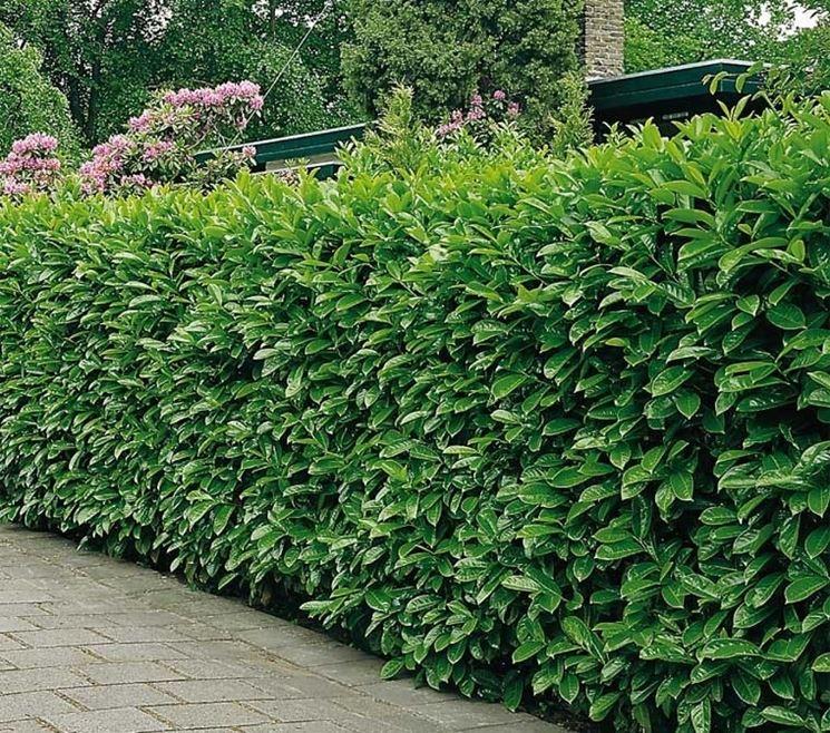 Il lauro piante da giardino lauro per giardino for Siepe di alloro