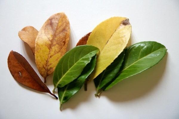 Il lauro piante da giardino lauro per giardino for Lauroceraso malattie