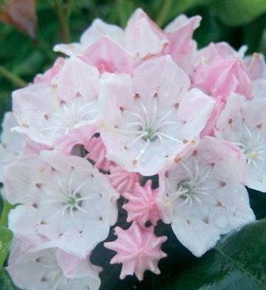 fiori kalmia