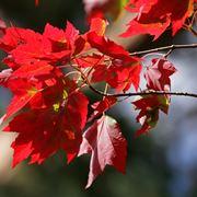 acero rosso foglie