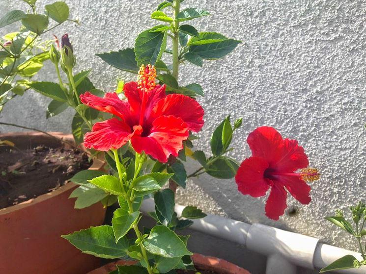 Ibiscus rosso