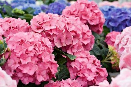 L 39 ortensia piante da giardino for Potatura piante da giardino