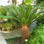 Irrigazione della pianta di Cycas