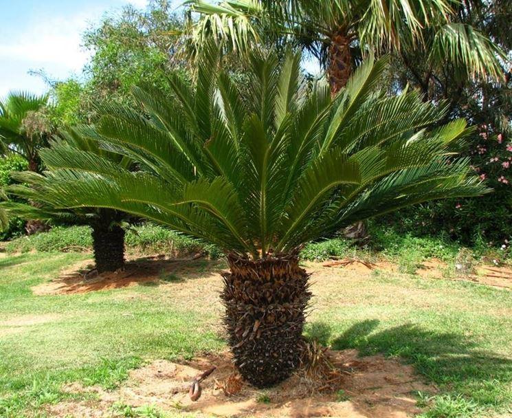 Grande pianta di Cycas in terreno