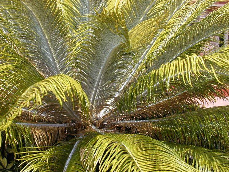Ingiallimento delle foglie della Cycas