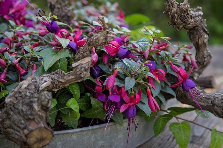 Fucsia in vaso da giardino