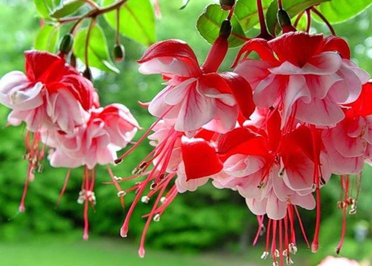 Fiore rosso di fucsia sano