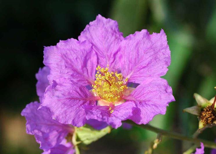 Fiore mirto crespo