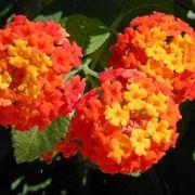 lantana fiore