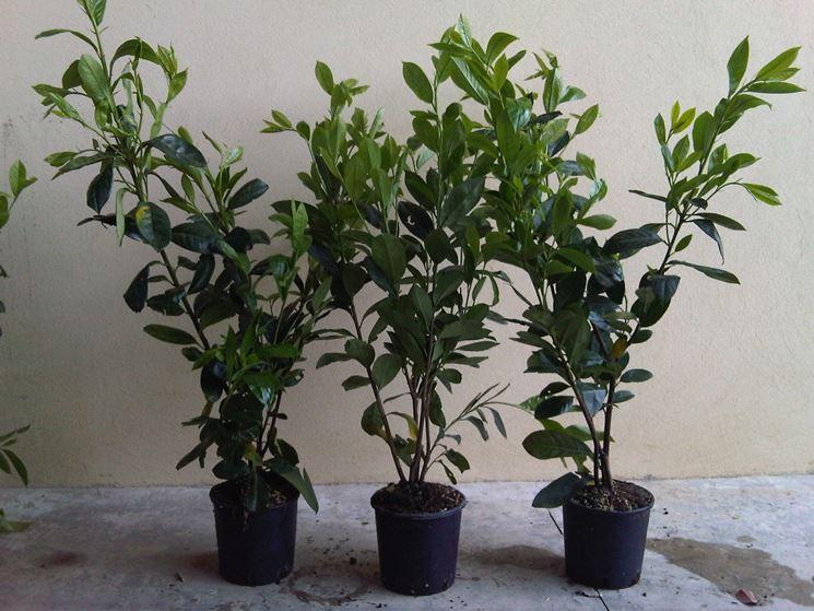 Lauroceraso prezzi piante da giardino costi del - Prezzi alberi da giardino ...