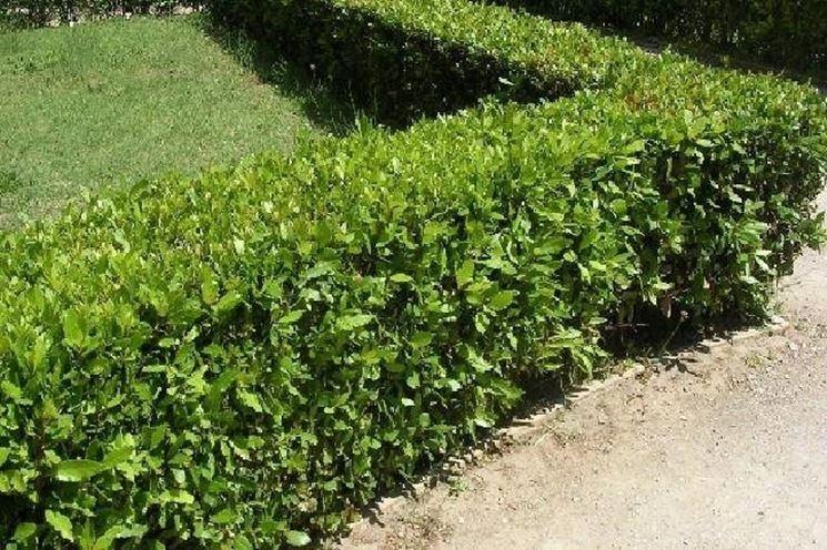 Lauroceraso siepe piante da giardino lauroceraso for Siepe in vaso