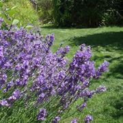 Immagine di lavanda fiorita