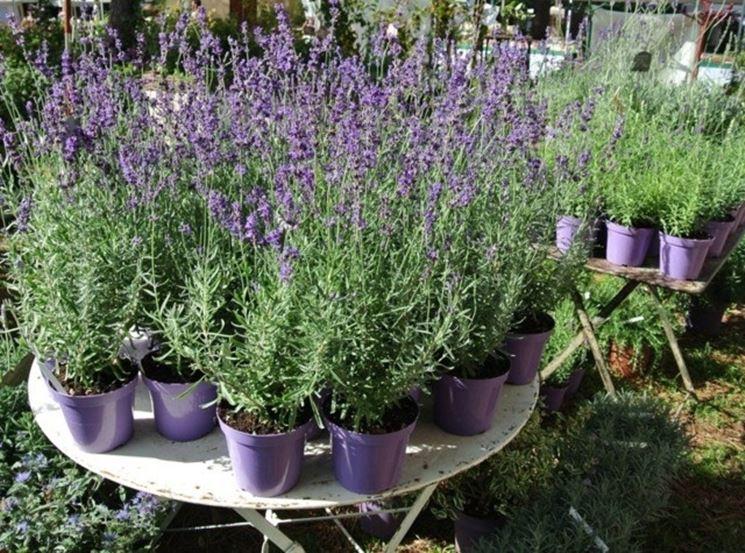 Lavanda in vaso piante da giardino lavanda coltivata for Pianta lavanda in vaso