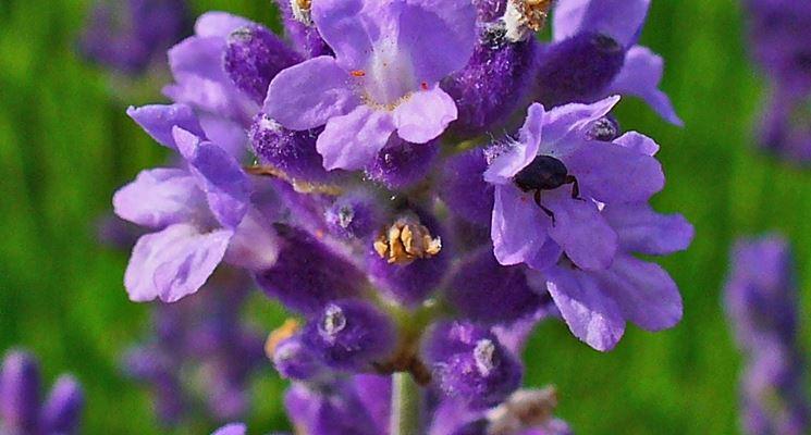 fiori di lavanda inglese
