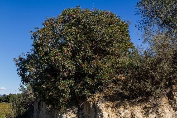 Bell'esemplare di Pistacia lentiscus
