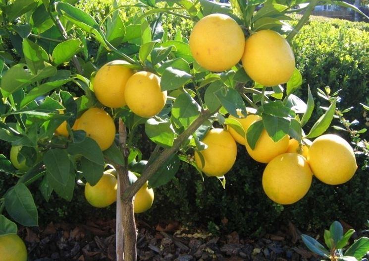Una pianta di limone meyer