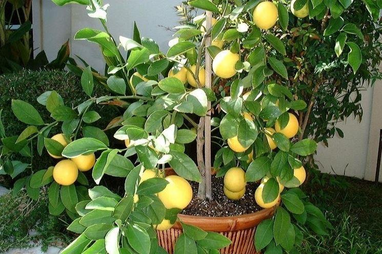 Un <em>limone meyer</em> coltivato in vaso