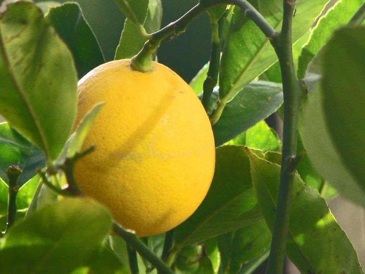 Il frutto del limone meyer