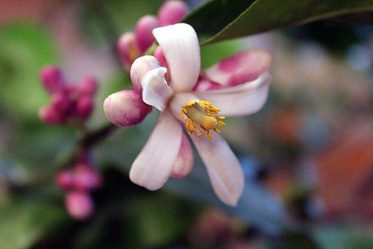 I fiori del limone meyer