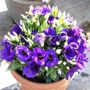 Una pianta di lisianthus coltivata in vaso