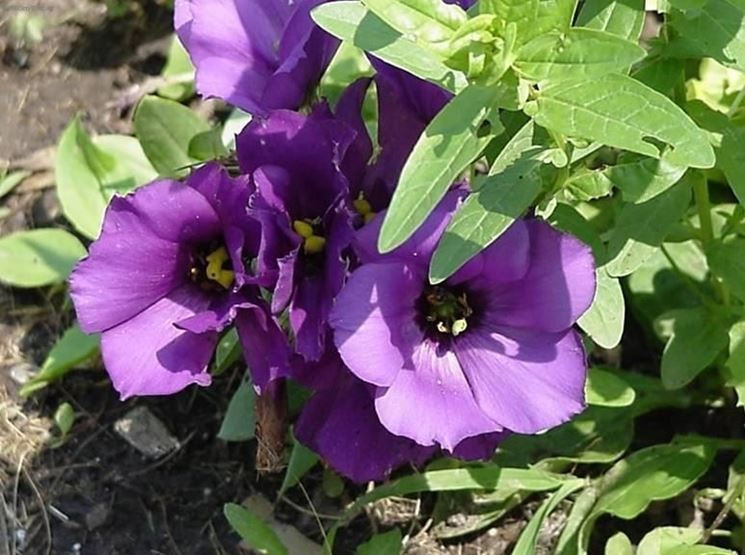Fiori viola di lisianthus