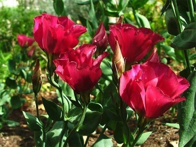 Lisianthus di colore rosso