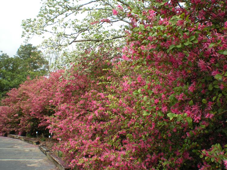 loropetalum piante da giardino arbusto sempreverde