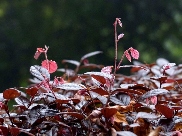 Arbusto ornamentale sempreverde